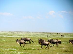 Jessica wildebeest
